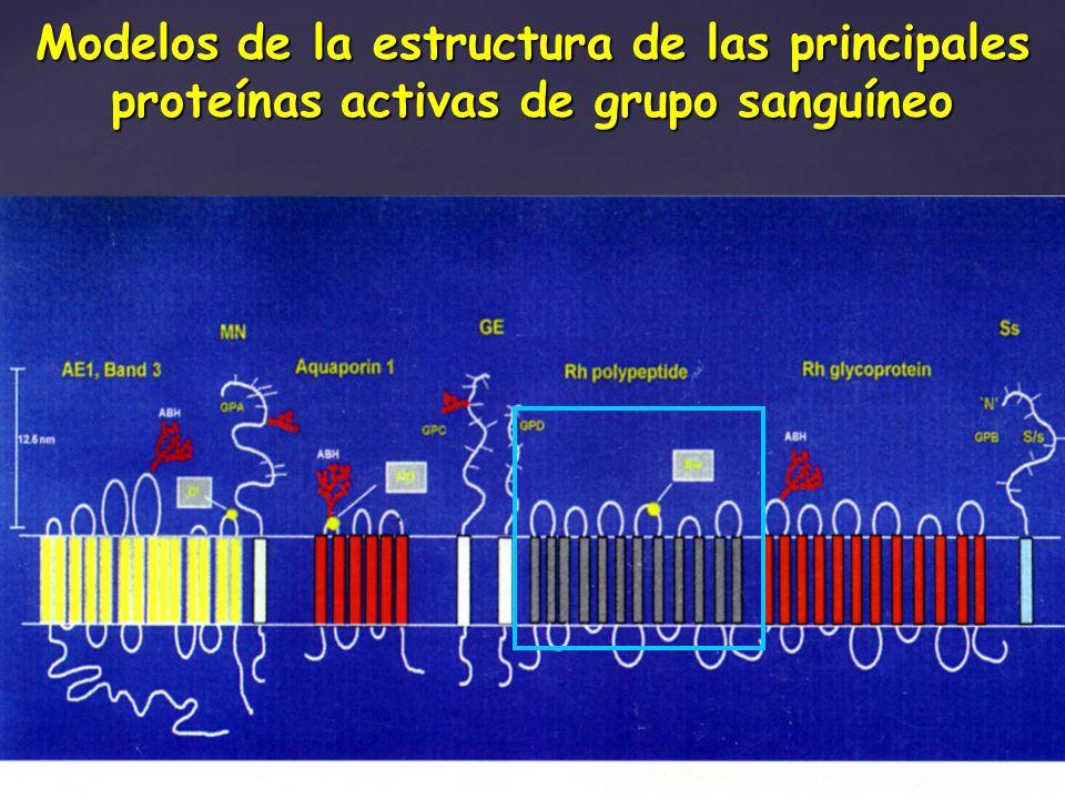 Modelos de la estructura de las principales proteínas activas de grupo sanguíneo