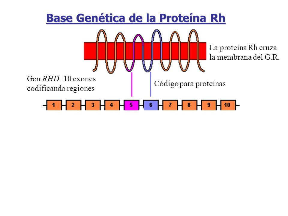 La proteína Rh cruza la membrana del G.R. Gen RHD :10 exones codificando regiones Código para proteínas 3pares de bases 1 triplete = 1 aminoácido Base