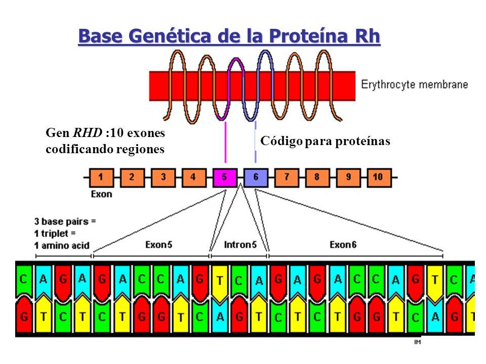 Gen RHD :10 exones codificando regiones Código para proteínas Base Genética de la Proteína Rh