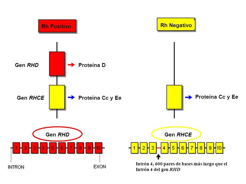 Rh Positivo Rh Negativo Gen RHD Gen RHCE Proteína D Proteína Cc y Ee Gen RHDGen RHCE Intrón 4, 600 pares de bases más largo que el Intrón 4 del gen RH