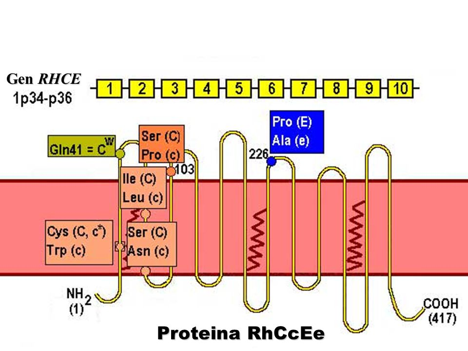 Proteina RhCcEe Gen RHCE