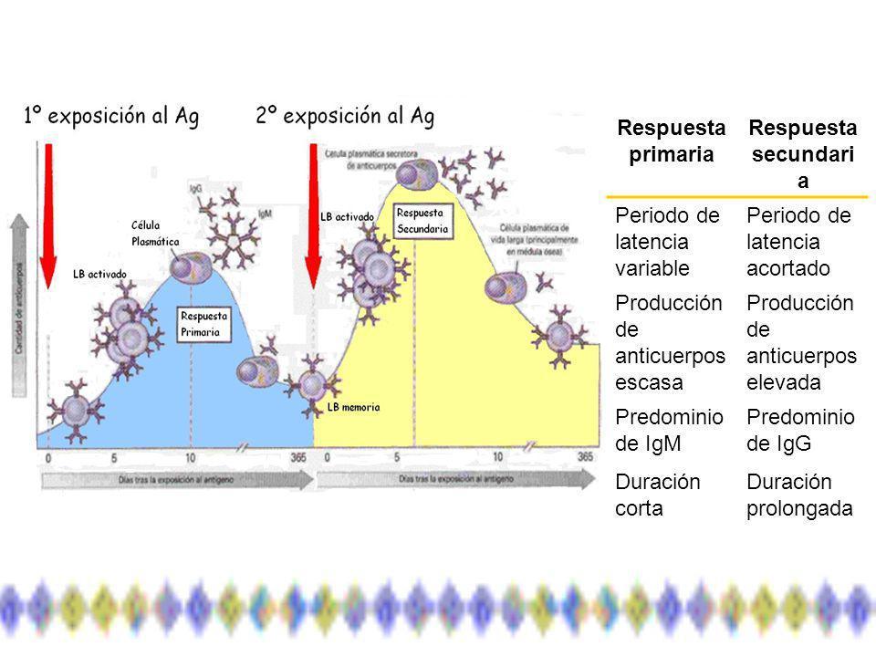 Respuesta primaria Respuesta secundari a Periodo de latencia variable Periodo de latencia acortado Producción de anticuerpos escasa Producción de anticuerpos elevada Predominio de IgM Predominio de IgG Duración corta Duración prolongada