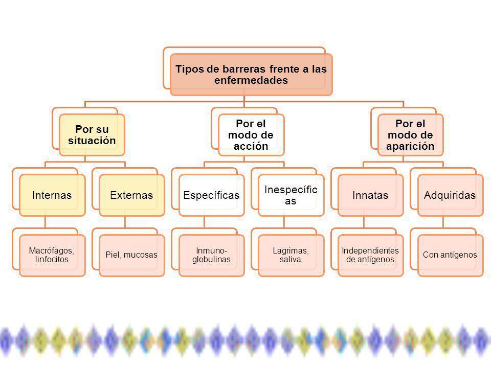 Líneas de defensa según sus características funcionales: Inmunidad innata: sus componentes están siempre presentes y no se incrementan en exposiciones repetidas.