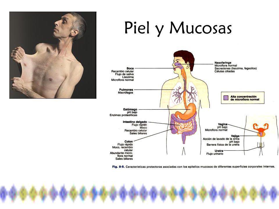 Mecanismos innatos internos 1.La reacción inflamatoria 2.La fagocitosis 3.El sistema del complemento 1.La reacción inflamatoria 2.La fagocitosis 3.El sistema del complemento
