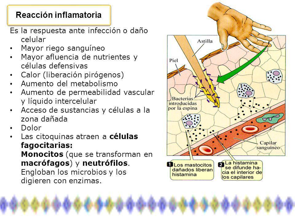 Fagocitosis Las células fagocitarias realizan un ataque directo inespecífico: Neutrófilos Neutrófilos: son los más abundantes, 50-70% de los leucocitos circulantes, vida media 12 hs.