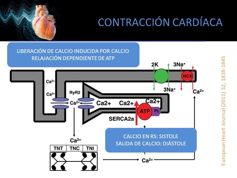 CONTRACCIÓN CARDÍACA European Heart Journal (2011) 32, 1838-1845 LIBERACIÓN DE CALCIO INDUCIDA POR CALCIO RELAJACIÓN DEPENDIENTE DE ATP CALCIO EN RS: