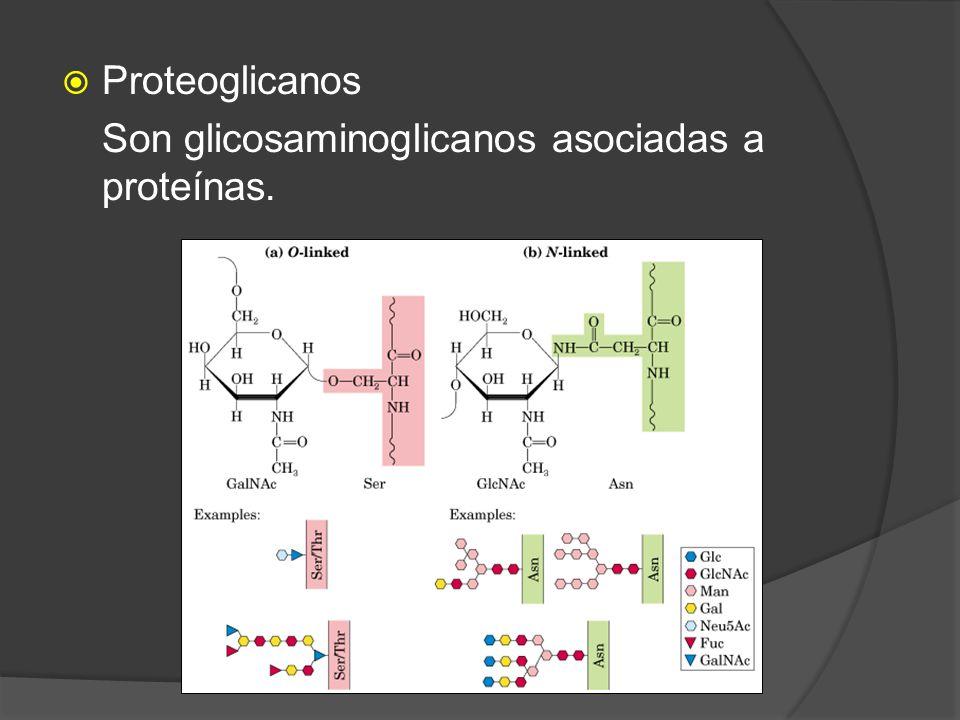 Proteoglicanos Son glicosaminoglicanos asociadas a proteínas.