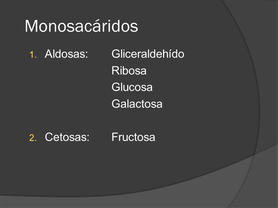 Monosacáridos 1. Aldosas: Gliceraldehído Ribosa Glucosa Galactosa 2. Cetosas: Fructosa
