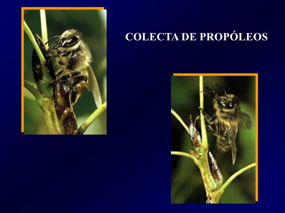 COLECTA DE PROPÓLEOS