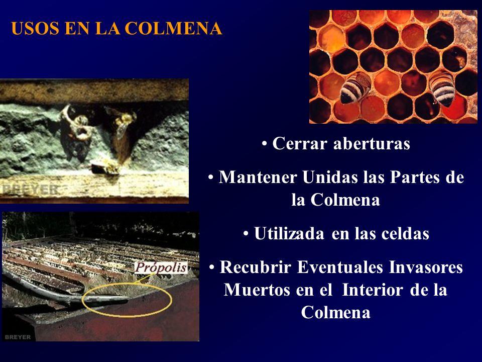 USOS EN LA COLMENA Cerrar aberturas Mantener Unidas las Partes de la Colmena Utilizada en las celdas Recubrir Eventuales Invasores Muertos en el Interior de la Colmena