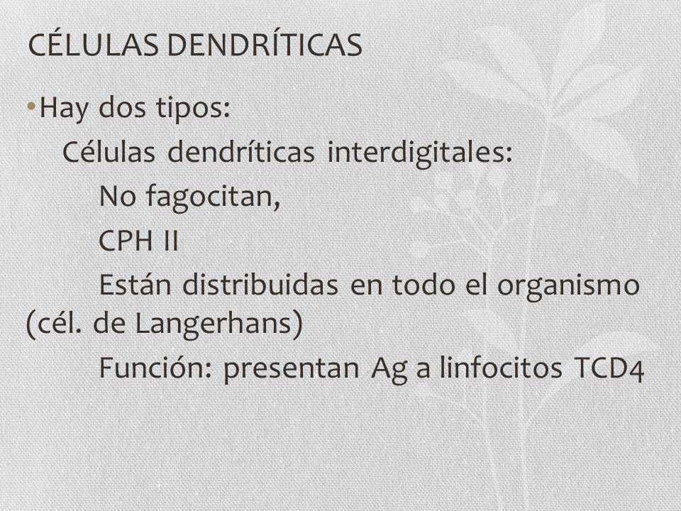CÉLULAS DENDRÍTICAS Hay dos tipos: Células dendríticas interdigitales: No fagocitan, CPH II Están distribuidas en todo el organismo (cél. de Langerhan