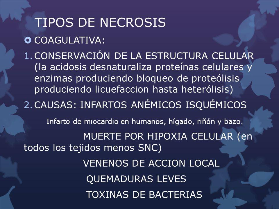 TIPOS DE NECROSIS COAGULATIVA: 1.CONSERVACIÓN DE LA ESTRUCTURA CELULAR (la acidosis desnaturaliza proteínas celulares y enzimas produciendo bloqueo de