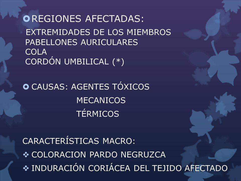 REGIONES AFECTADAS: EXTREMIDADES DE LOS MIEMBROS PABELLONES AURICULARES COLA CORDÓN UMBILICAL (*) CAUSAS: AGENTES TÓXICOS MECANICOS TÉRMICOS CARACTERÍ
