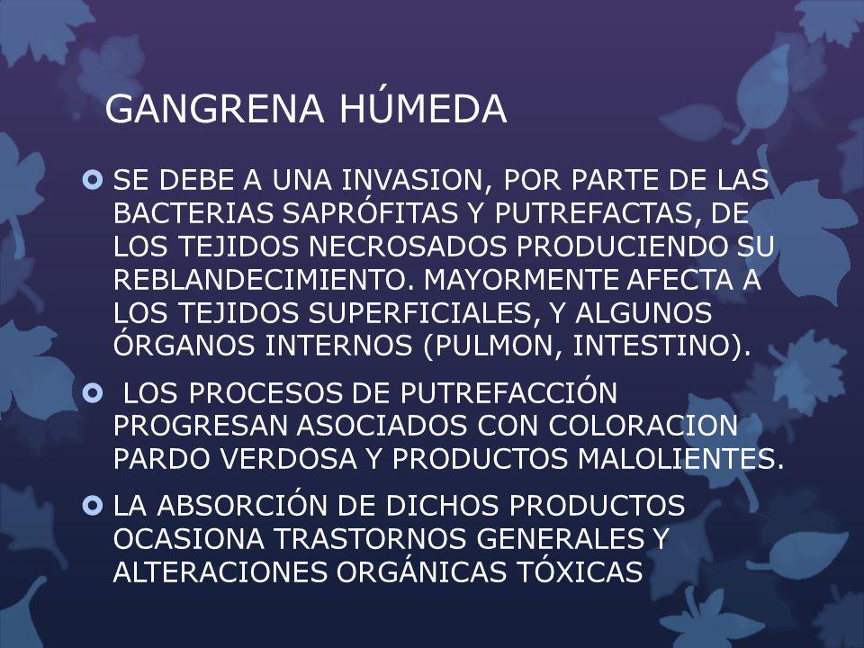 GANGRENA HÚMEDA SE DEBE A UNA INVASION, POR PARTE DE LAS BACTERIAS SAPRÓFITAS Y PUTREFACTAS, DE LOS TEJIDOS NECROSADOS PRODUCIENDO SU REBLANDECIMIENTO