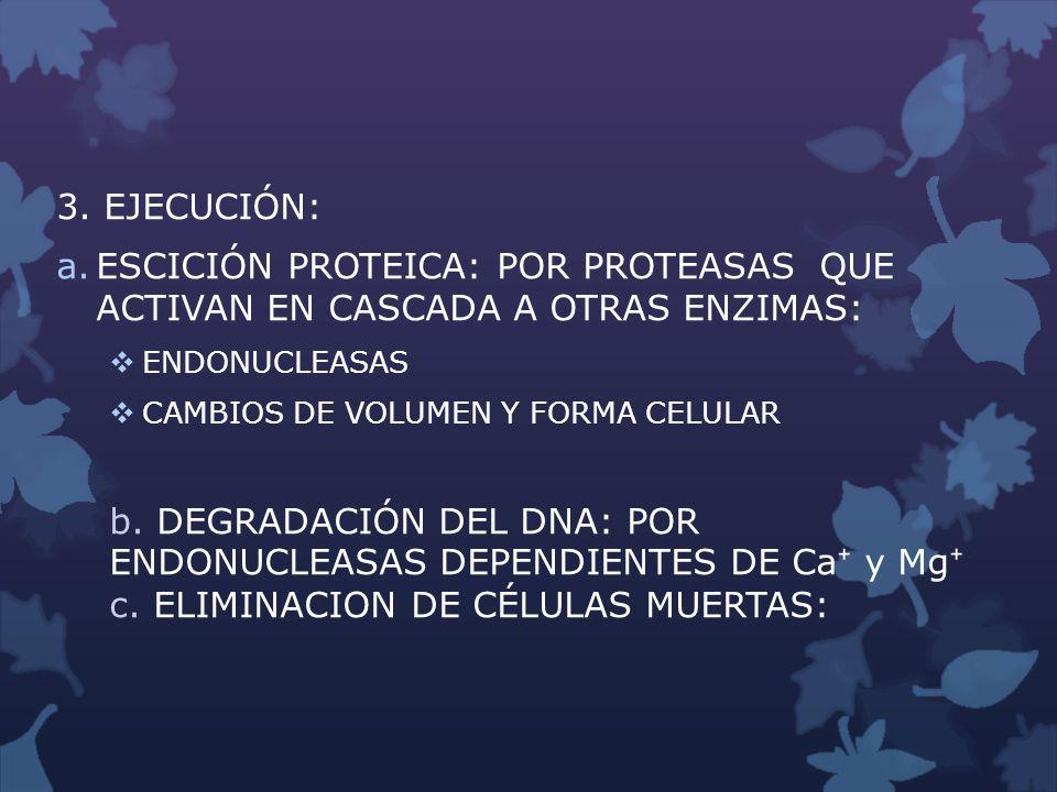 3. EJECUCIÓN: a.ESCICIÓN PROTEICA: POR PROTEASAS QUE ACTIVAN EN CASCADA A OTRAS ENZIMAS: ENDONUCLEASAS CAMBIOS DE VOLUMEN Y FORMA CELULAR b. DEGRADACI