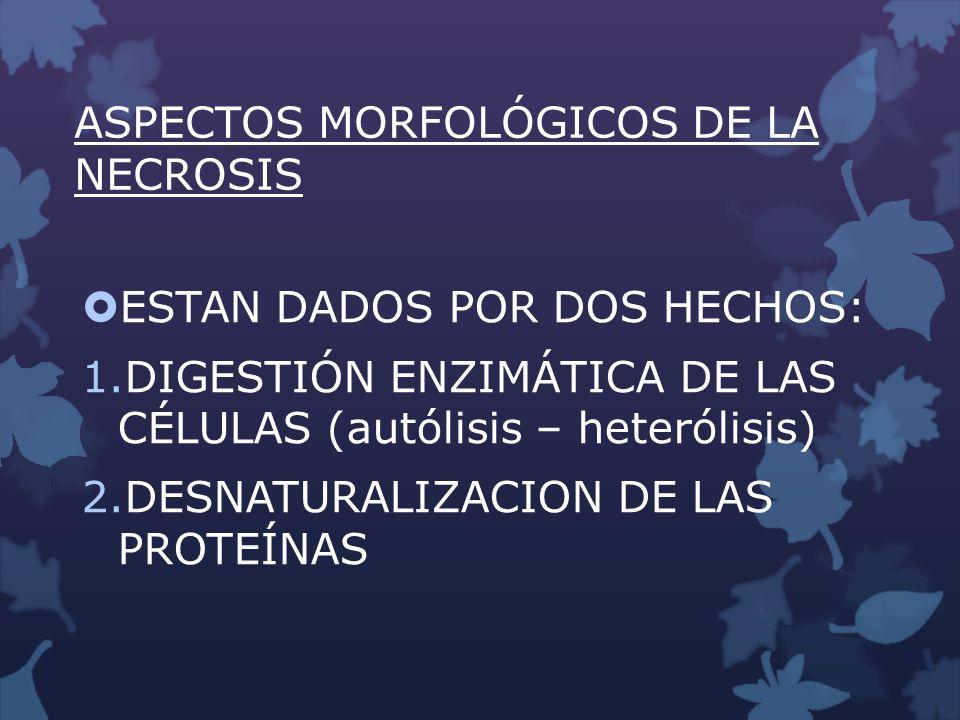 ASPECTOS MORFOLÓGICOS DE LA NECROSIS ESTAN DADOS POR DOS HECHOS: 1.DIGESTIÓN ENZIMÁTICA DE LAS CÉLULAS (autólisis – heterólisis) 2.DESNATURALIZACION D