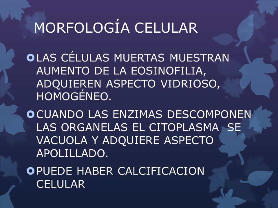 MORFOLOGÍA CELULAR LAS CÉLULAS MUERTAS MUESTRAN AUMENTO DE LA EOSINOFILIA, ADQUIEREN ASPECTO VIDRIOSO, HOMOGÉNEO. CUANDO LAS ENZIMAS DESCOMPONEN LAS O