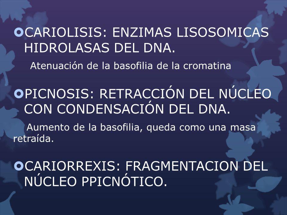 CARIOLISIS: ENZIMAS LISOSOMICAS HIDROLASAS DEL DNA. Atenuación de la basofilia de la cromatina PICNOSIS: RETRACCIÓN DEL NÚCLEO CON CONDENSACIÓN DEL DN