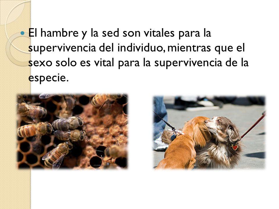 El hambre y la sed son vitales para la supervivencia del individuo, mientras que el sexo solo es vital para la supervivencia de la especie.