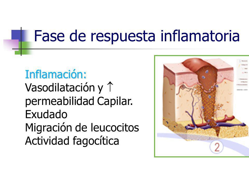 Fase de respuesta inflamatoria Inflamación: Vasodilatación y permeabilidad Capilar. Exudado Migración de leucocitos Actividad fagocítica