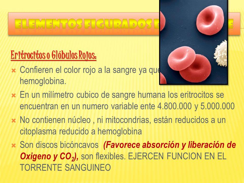 Eritrocitos o Glóbulos Rojos: Confieren el color rojo a la sangre ya que contienen hemoglobina. En un milímetro cubico de sangre humana los eritrocito