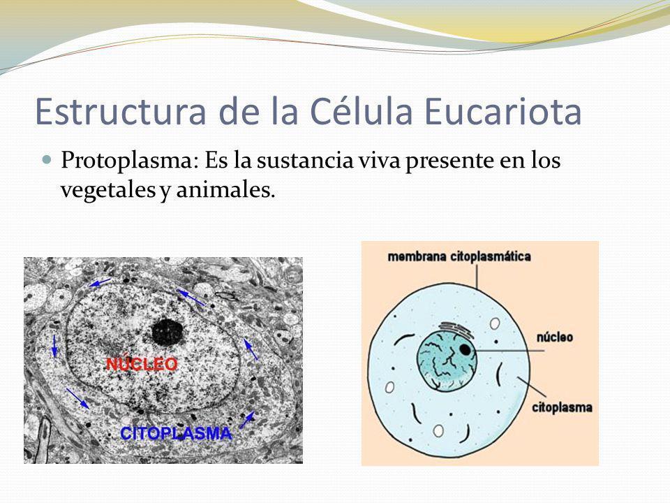 Estructura de la Célula Eucariota Protoplasma: Es la sustancia viva presente en los vegetales y animales.
