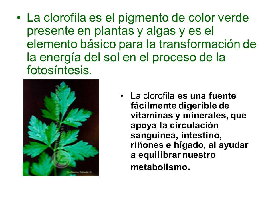 La clorofila es el pigmento de color verde presente en plantas y algas y es el elemento básico para la transformación de la energía del sol en el proc