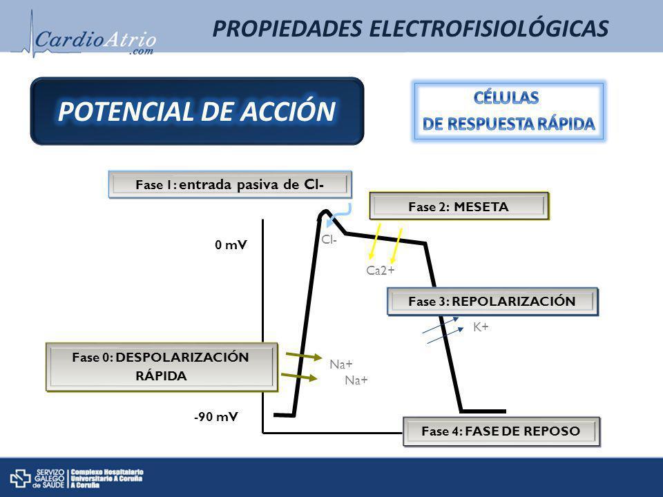 Fase 0: DESPOLARIZACIÓN RÁPIDA Na+ Fase 1: entrada pasiva de Cl- Cl- Ca2+ Fase 2: MESETA Fase 3: REPOLARIZACIÓN Na+ K+ Fase 4: FASE DE REPOSO -90 mV 0