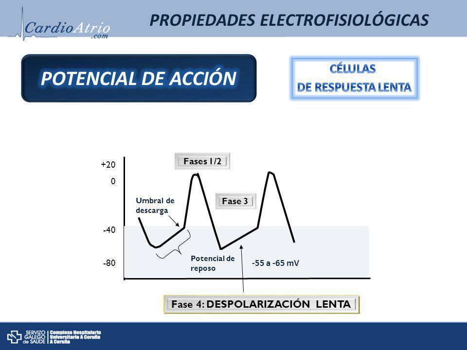 +20 0 -40 -80 Umbral de descarga Potencial de reposo -55 a -65 mV Fases 1/2 Fase 3 Fase 4: DESPOLARIZACIÓN LENTA