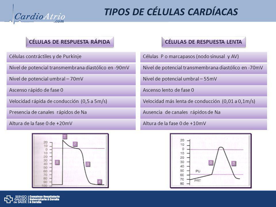 CÉLULAS DE RESPUESTA RÁPIDA CÉLULAS DE RESPUESTA RÁPIDA CÉLULAS DE RESPUESTA LENTA CÉLULAS DE RESPUESTA LENTA TIPOS DE CÉLULAS CARDÍACAS Células contr
