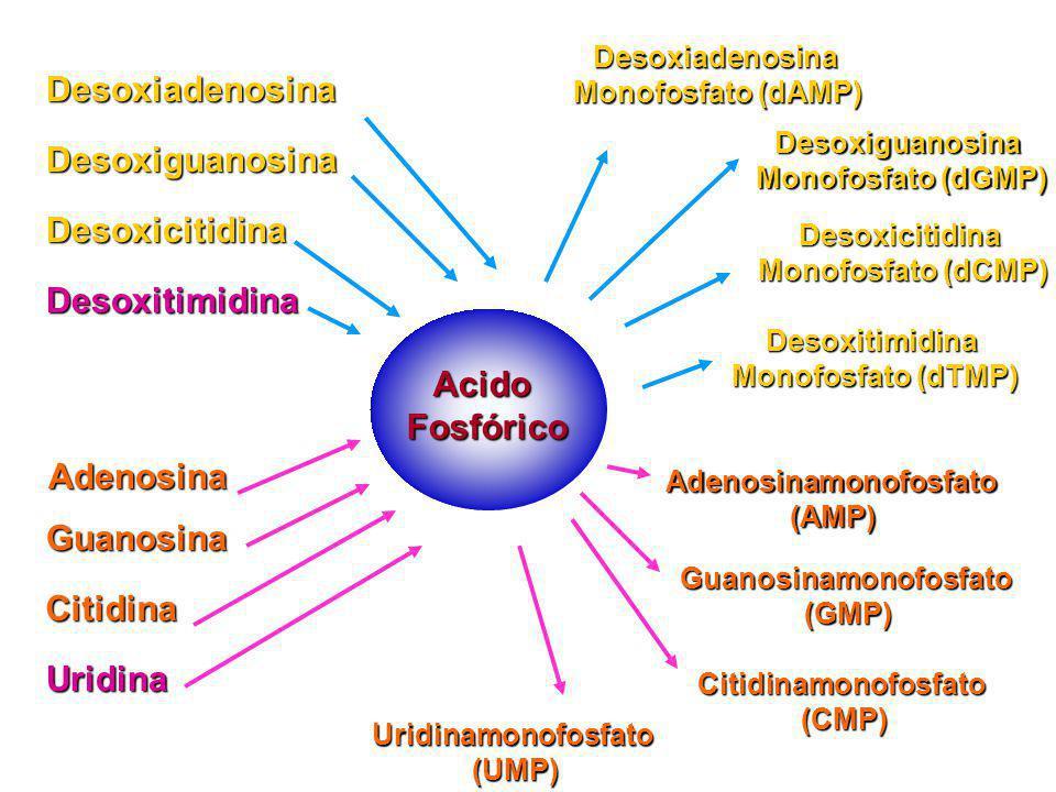 AcidoFosfórico Desoxiadenosina Desoxiguanosina Desoxicitidina Desoxitimidina Adenosina Guanosina Citidina Uridina Desoxiadenosina Monofosfato (dAMP) D
