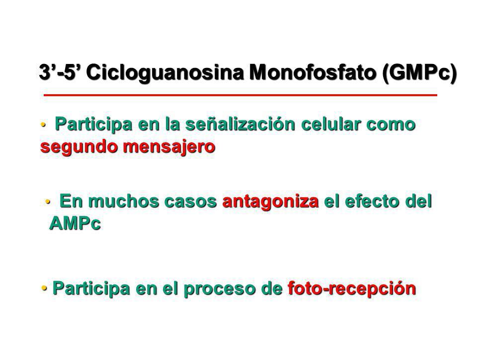 3-5 Cicloguanosina Monofosfato (GMPc) Participa en la señalización celular como Participa en la señalización celular como segundo mensajero En muchos
