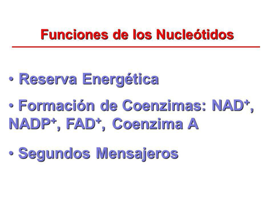 Funciones de los Nucleótidos Reserva EnergéticaReserva Energética Formación de Coenzimas: NAD +, NADP +, FAD +, Coenzima A Formación de Coenzimas: NAD