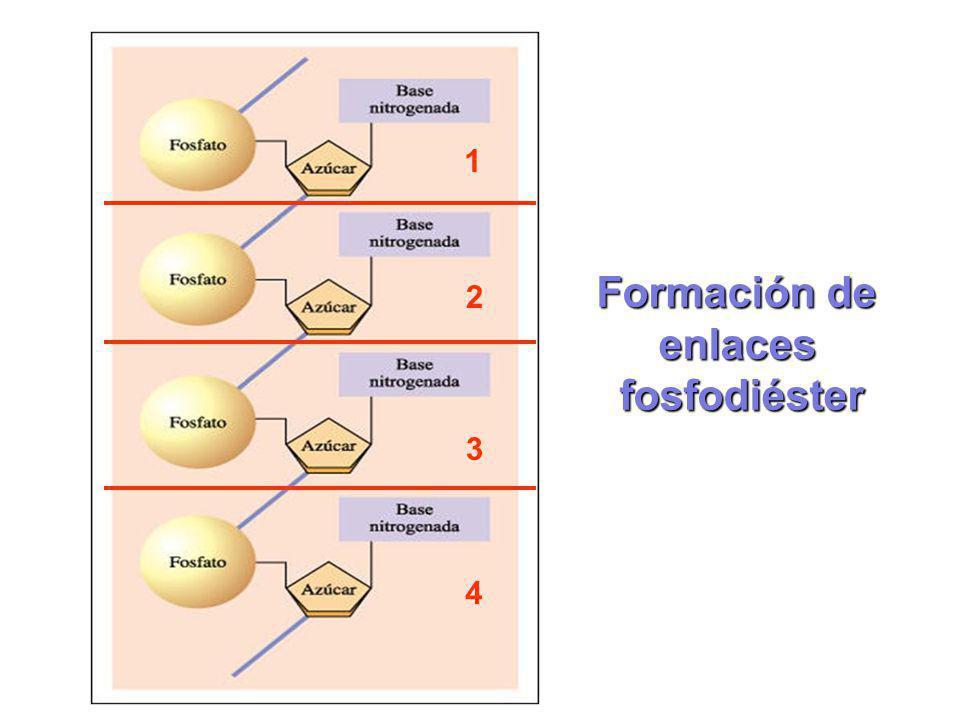 1 2 3 4 Formación de enlacesfosfodiéster