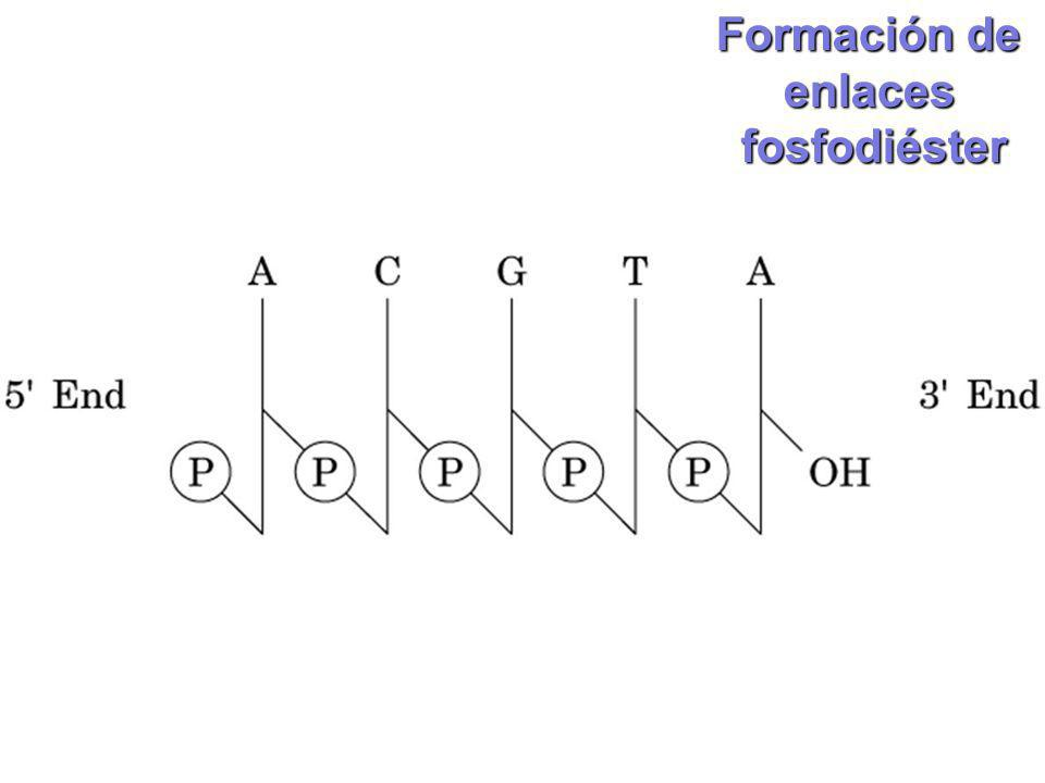 enlacesfosfodiéster