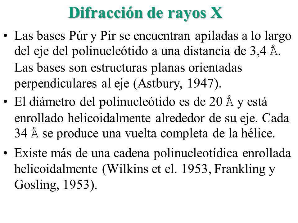 Difracción de rayos X Las bases Púr y Pir se encuentran apiladas a lo largo del eje del polinucleótido a una distancia de 3,4 Å. Las bases son estruct