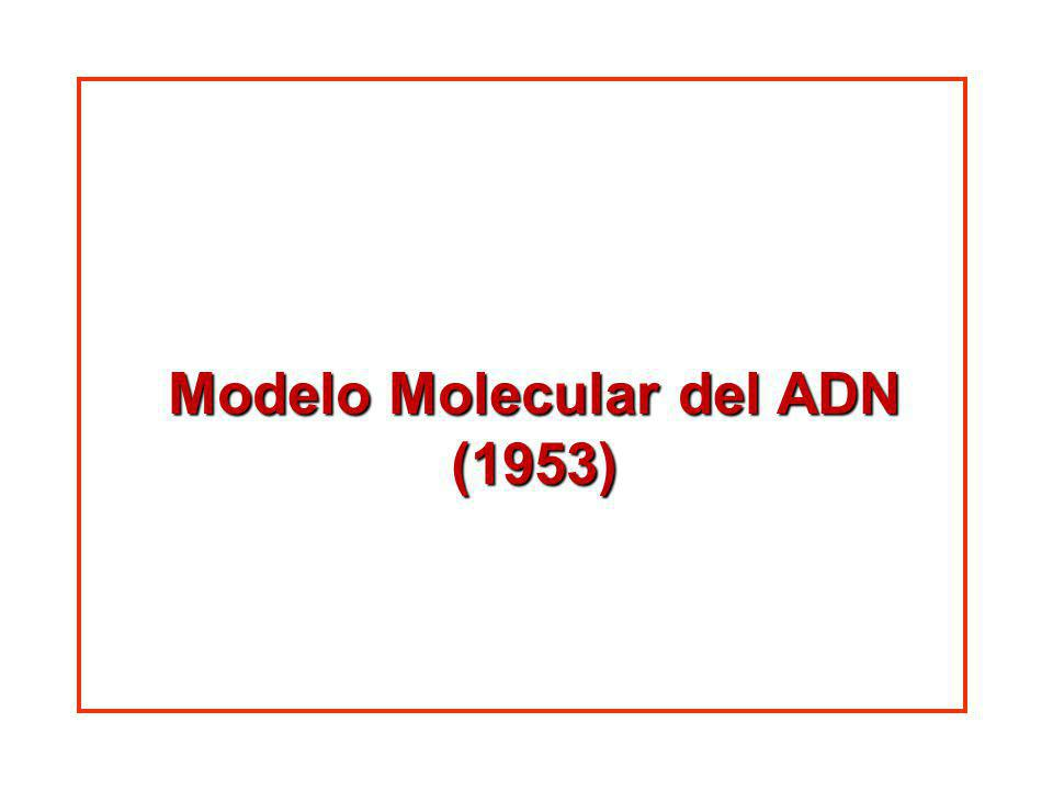 Modelo Molecular del ADN (1953)
