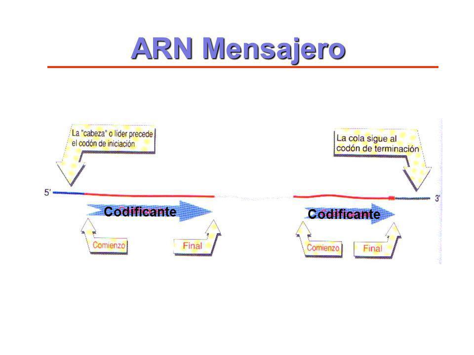 Codificante ARN Mensajero