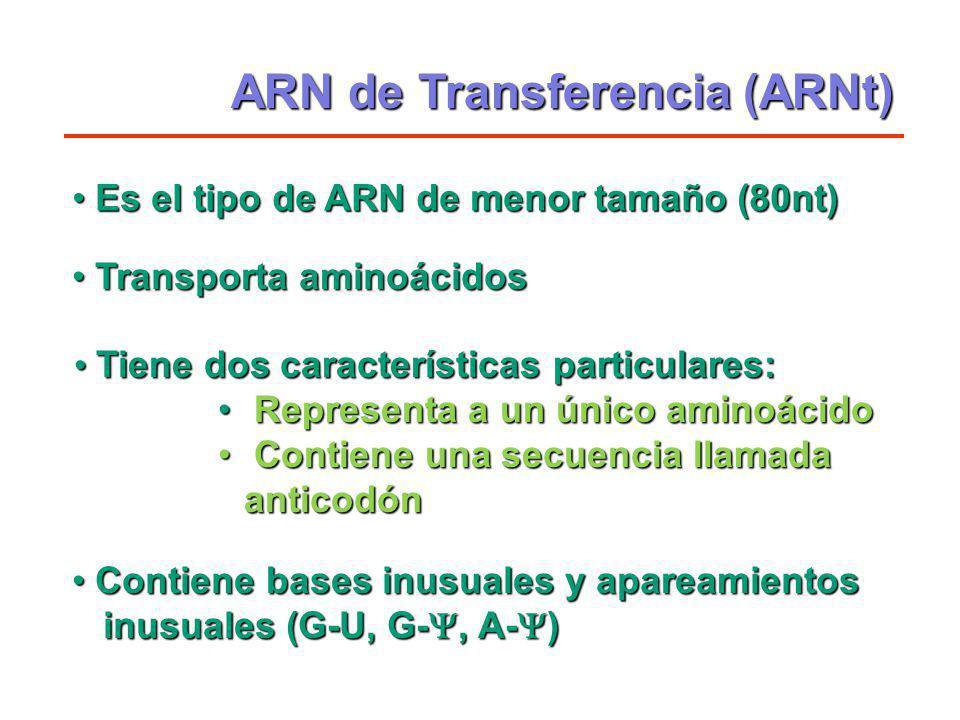 ARN de Transferencia (ARNt) Tiene dos características particulares: Tiene dos características particulares: Representa a un único aminoácido Represent