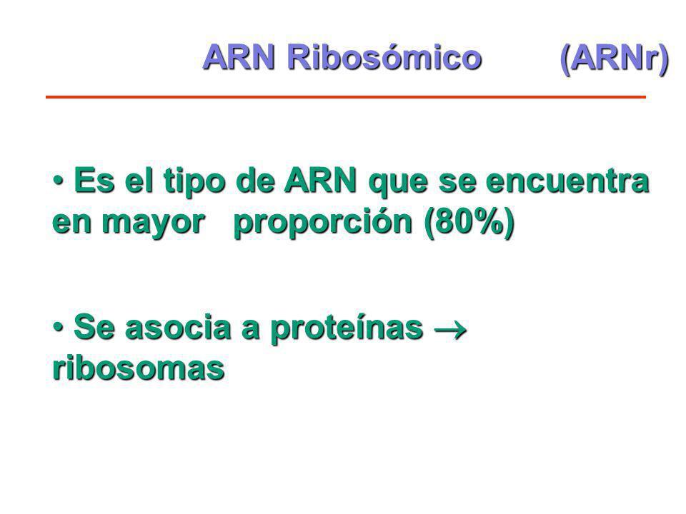 ARN Ribosómico Es el tipo de ARN que se encuentra en mayor proporción (80%) Es el tipo de ARN que se encuentra en mayor proporción (80%) Se asocia a p