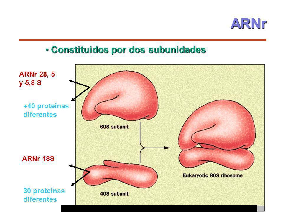 Constituidos por dos subunidades Constituidos por dos subunidades 3 moléculas de ARN +40 proteínas diferentes 1 molécula de ARN 30 proteínas diferente