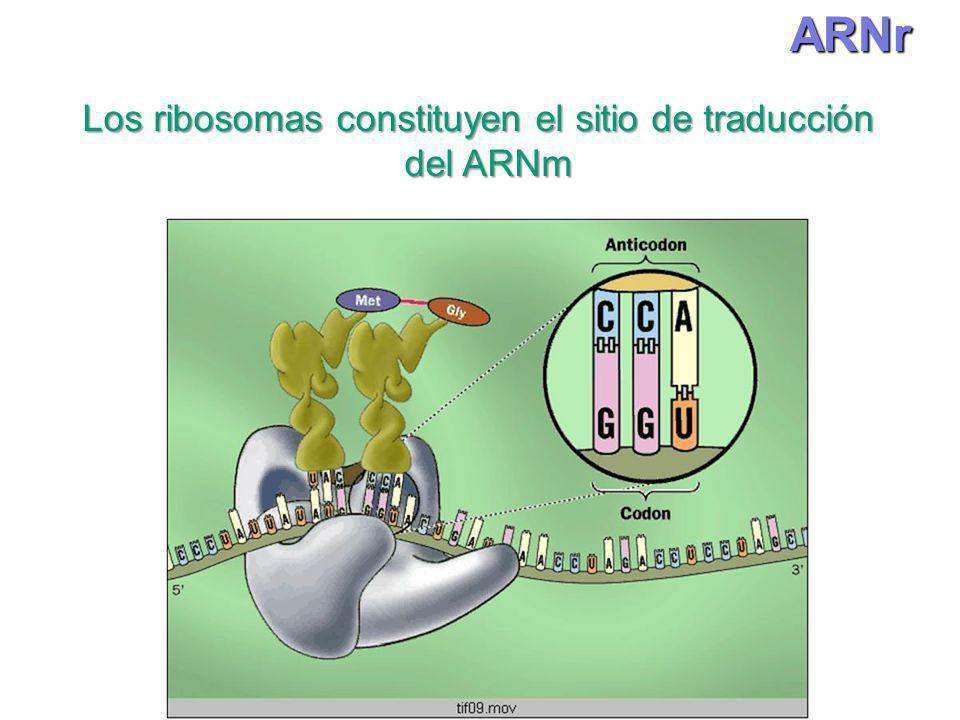Los ribosomas constituyen el sitio de traducción del ARNm del ARNmARNr
