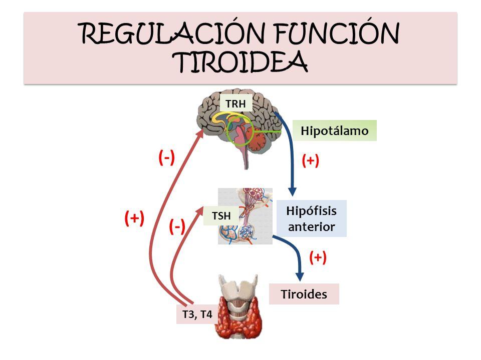 REGULACIÓN FUNCIÓN TIROIDEA TRH Hipotálamo Hipófisis anterior TSH Tiroides T3, T4 (+) (-) (+)