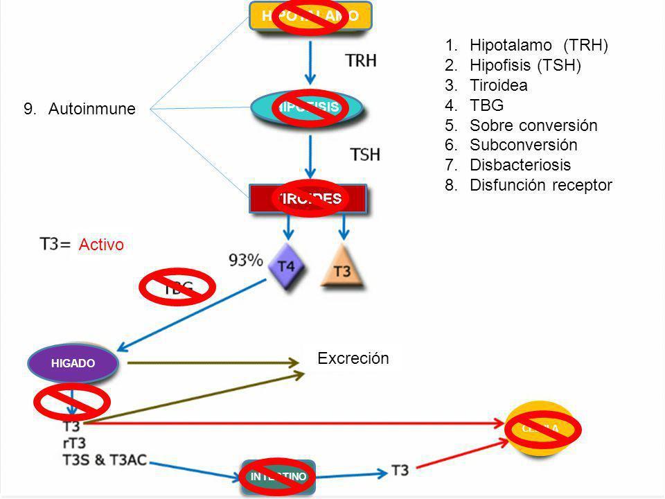 LOGO www.themegallery.com HIPOTALAMO HIPOFISIS TIROIDES HIGADO INTESTINO CELULA Activo Excreción 1.Hipotalamo (TRH) 2.Hipofisis (TSH) 3.Tiroidea 4.TBG