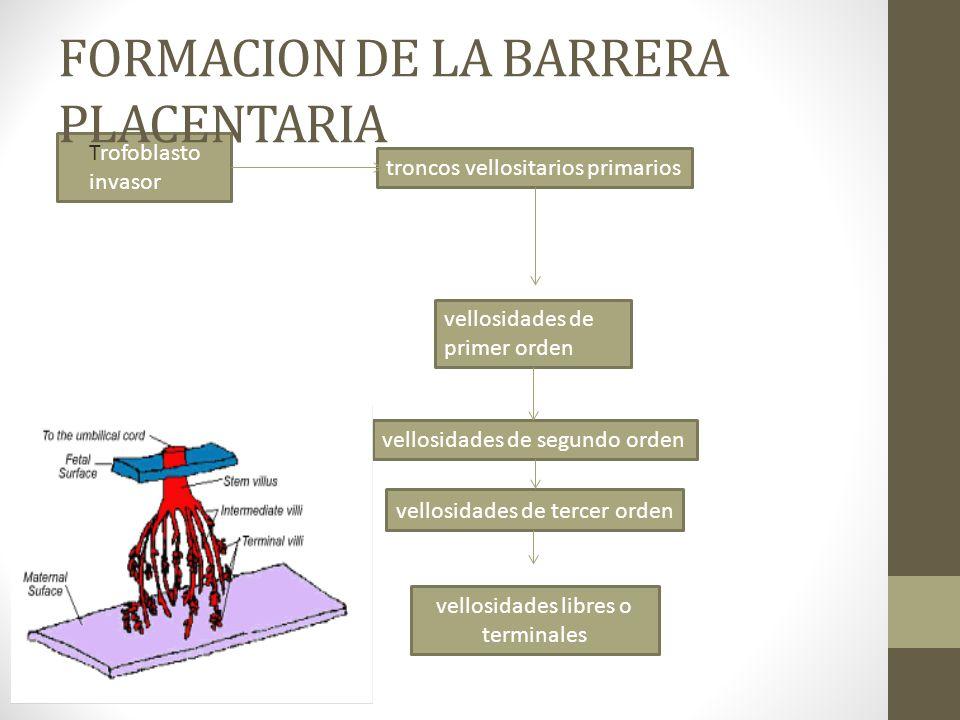 FORMACION DE LA BARRERA PLACENTARIA Trofoblasto invasor troncos vellositarios primarios vellosidades de primer orden vellosidades de segundo orden vel