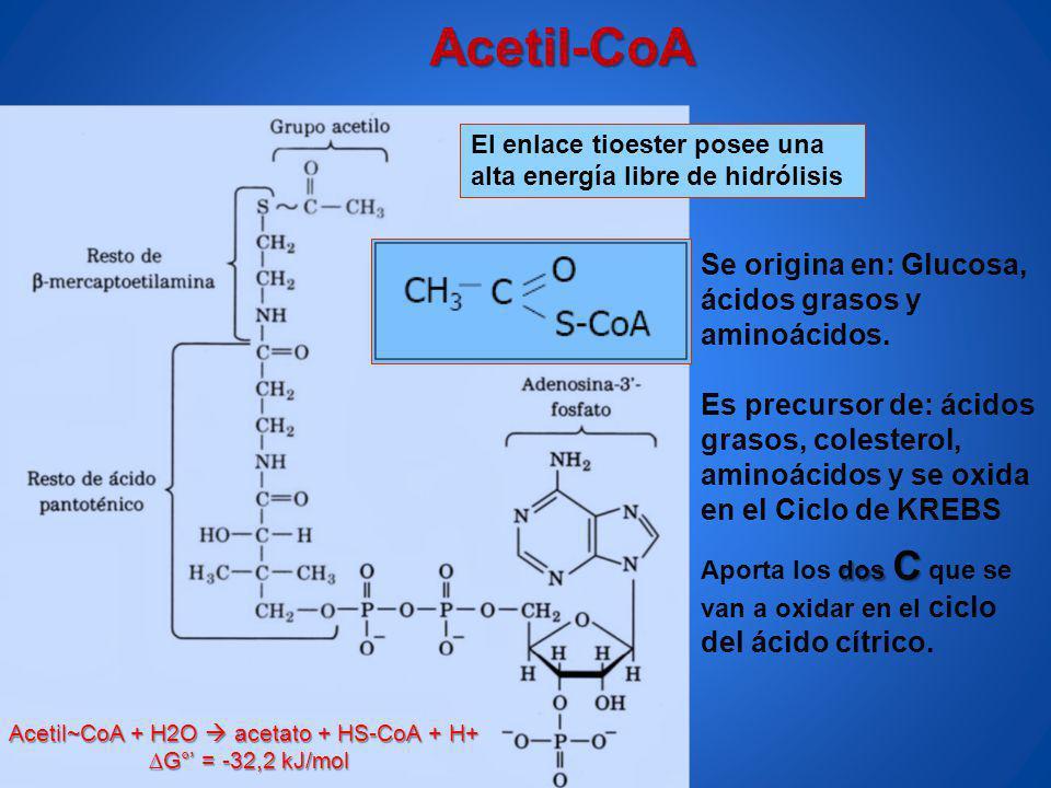 El enlace tioester posee una alta energía libre de hidrólisis dos C Aporta los dos C que se van a oxidar en el ciclo del ácido cítrico. Acetil-CoA Se