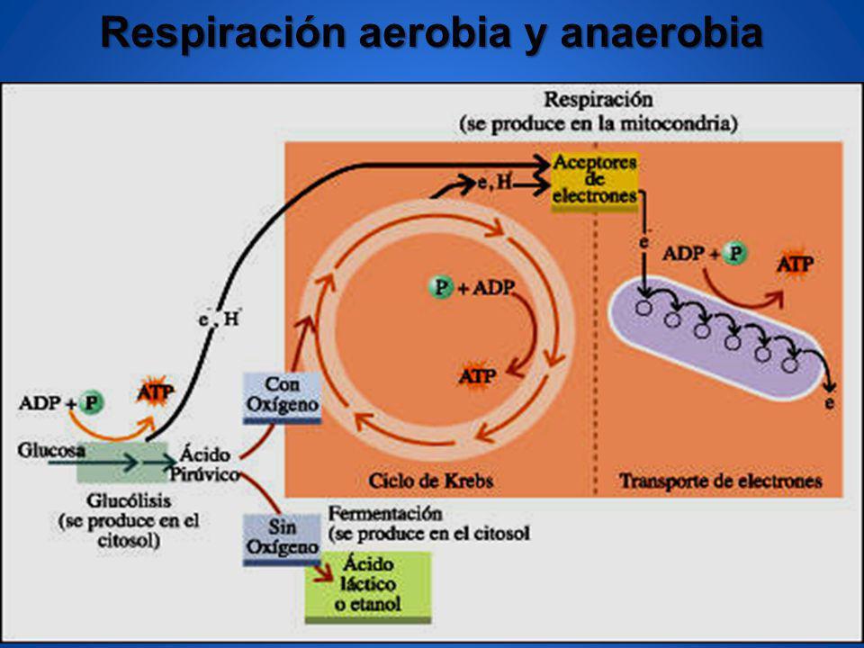 Respiración aerobia y anaerobia