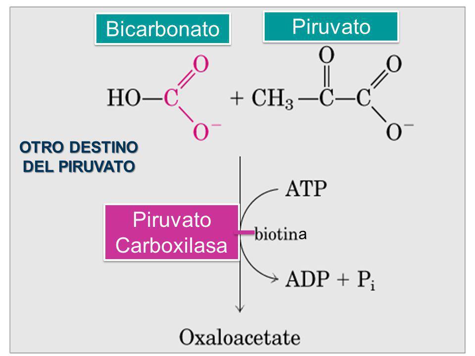 Bicarbonato Piruvato a Piruvato Carboxilasa OTRO DESTINO DEL PIRUVATO