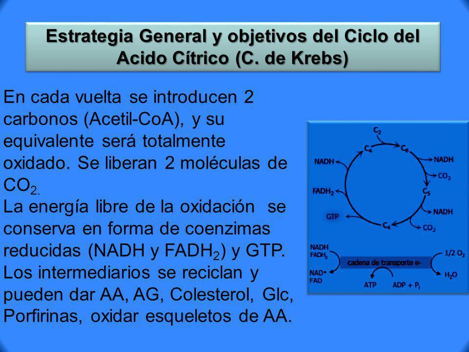 Estrategia General y objetivos del Ciclo del Acido Cítrico (C. de Krebs) En cada vuelta se introducen 2 carbonos (Acetil-CoA), y su equivalente será t