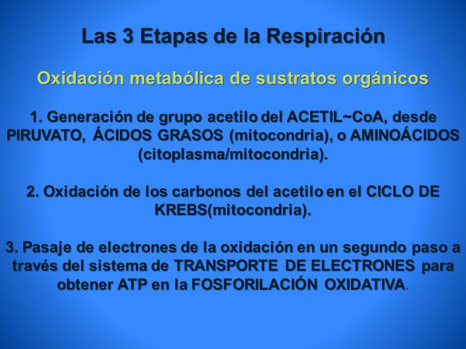 Las 3 Etapas de la Respiración Oxidación metabólica de sustratos orgánicos 1. Generación de grupo acetilo del ACETIL~CoA, desde PIRUVATO, ÁCIDOS GRASO